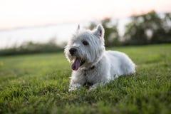 Terrier branco de montanhas ocidentais um cão muito bonito imagem de stock royalty free