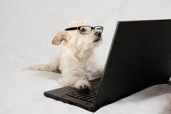 Terrier brun clair avec des verres regardant l'ordinateur portable Images libres de droits
