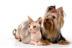 The terrier and the Canadian sphynx Royalty Free Stock Photography