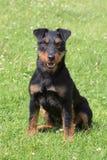 Terrier cercante tedesco Immagine Stock Libera da Diritti