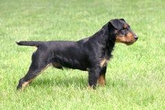 Terrier cercante tedesco Immagine Stock