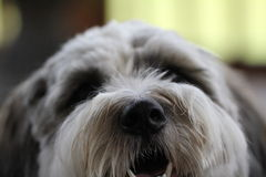 Terrier Close-Up Royalty Free Stock Photo