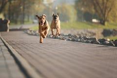 Terrier criado en línea pura del airedale al aire libre fotografía de archivo