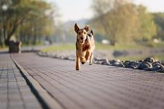 Terrier criado en línea pura del airedale al aire libre foto de archivo