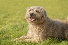 Terrier cross puppy laying on grass. Outdoors royalty free stock photo