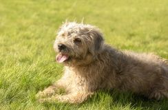 Terrier cross puppy laying on grass. Outdoors royalty free stock photography
