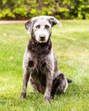 Terrier Crossbreed Dog in Green Yard Stock Images