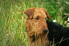 Terrier d'Airdale Photo stock