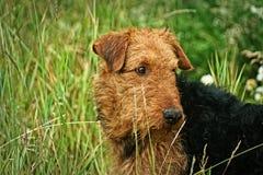 Terrier de Airdale Foto de Stock