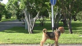Terrier de Airedale de la raza del perro almacen de metraje de vídeo
