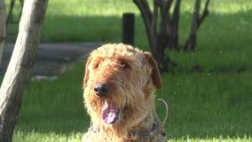 Terrier de Airedale de la raza del perro metrajes