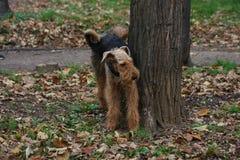 Terrier de Airedale en parque público fotos de archivo
