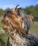 Terrier de Angelic Yorkshire fotos de stock royalty free