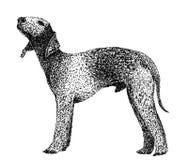 Terrier de Bedlington Imagem de Stock Royalty Free