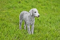 Terrier de Bedlington recentemente grampeado imagens de stock