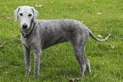 Terrier de Bedlington recentemente grampeado fotografia de stock royalty free