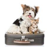 Terrier de Biewer-Yorkshire et chat du Bengale se reposant sur un sac D'isolement sur le blanc Photographie stock