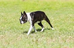 Terrier de Boston Fotografia de Stock