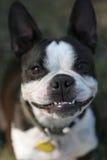 Terrier de Boston Fotografía de archivo