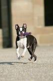 Terrier de Boston con dogtoy Fotos de archivo