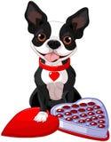 Terrier de Boston del día de San Valentín Imagen de archivo libre de regalías