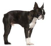 Terrier de Boston, o 1 anos de idade, estando Imagem de Stock Royalty Free
