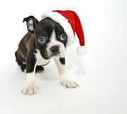Terrier de Boston que desgasta um chapéu de Santa Fotos de Stock Royalty Free