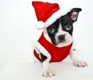 Terrier de Boston que desgasta um terno de Santa fotografia de stock