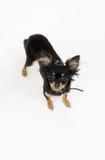 Terrier de brinquedo Fotos de Stock Royalty Free