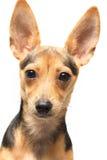 Terrier de brinquedo Fotografia de Stock