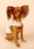 Terrier de brinquedo Fotografia de Stock Royalty Free