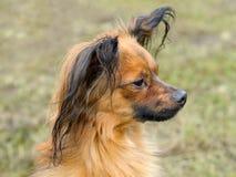 Terrier de brinquedo Foto de Stock