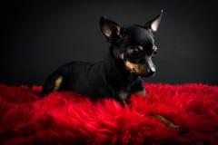 Terrier de brinquedo bonito Fotografia de Stock Royalty Free