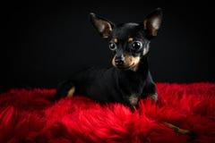Terrier de brinquedo bonito Fotos de Stock