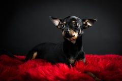 Terrier de brinquedo bonito Foto de Stock Royalty Free