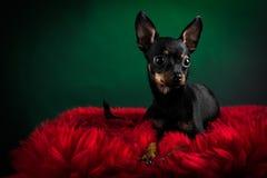 Terrier de brinquedo bonito Imagem de Stock