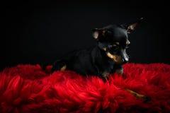 Terrier de brinquedo bonito Imagens de Stock Royalty Free