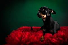 Terrier de brinquedo bonito Fotos de Stock Royalty Free