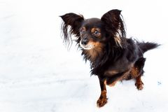 Terrier de brinquedo com o retrato franzido da pata Fotografia de Stock Royalty Free