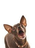 Terrier de brinquedo de descascamento fotos de stock royalty free