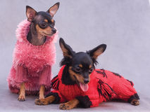 Terrier de brinquedo de dois russos na roupa Fotografia de Stock Royalty Free