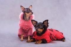 Terrier de brinquedo de dois russos na roupa Imagens de Stock