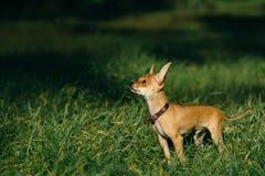 Terrier de brinquedo do russo Fotografia de Stock Royalty Free
