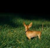 Terrier de brinquedo do russo Fotografia de Stock