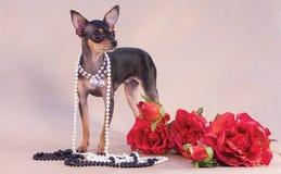 Terrier de brinquedo do russo Imagem de Stock Royalty Free
