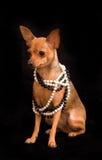 Terrier de brinquedo do russo Fotos de Stock Royalty Free