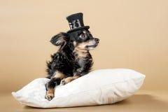 Terrier de brinquedo do russo dos cachorrinhos Imagens de Stock