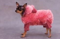 Terrier de brinquedo do russo na roupa Fotografia de Stock Royalty Free
