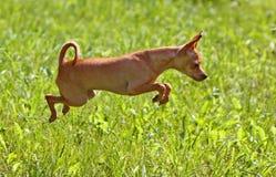 Terrier de brinquedo do russo que salta na grama verde fotografia de stock