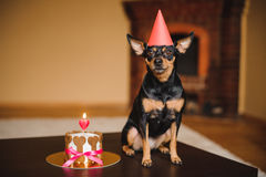 Terrier de brinquedo no chapéu do aniversário com bolo do cão imagem de stock royalty free